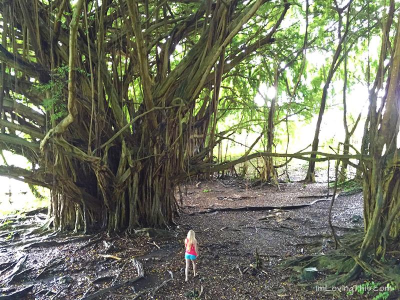 Banyan Tree Hawaii The Big Island Huge Banyan Tree